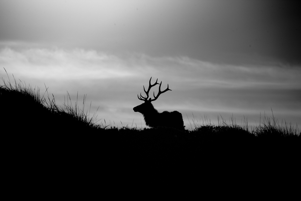 "Un Wapiti (""Tule Elk"").
